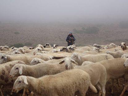 Rebaño de ovejas en el valle de Valdivielso.