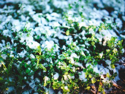 Los priones guardan la memoria del frío en las flores de la descendencia.