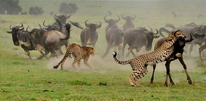 Cheetahs in a group attack a herd of wildebeest.  Image from the documentary 'Wild Covid'.