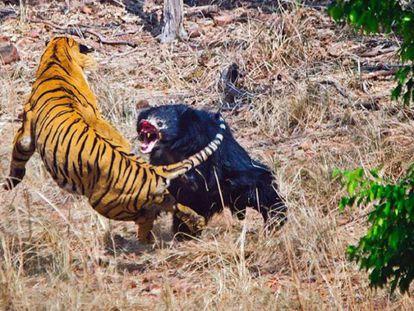 Un tigre y una osa se enfrentan en el Parque Nacional Tadoba, en la India.