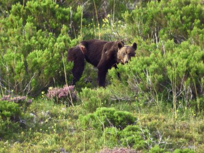 Ejemplar de oso pardo en la Cordillera Cantábrica.