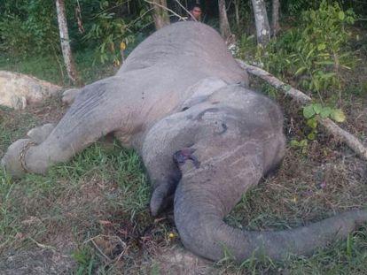 El cadáver del elefante Yongki en un paraje de la isla de Sumatra.