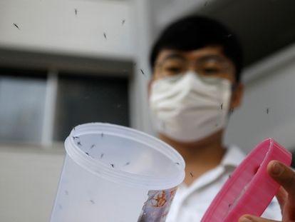 Liberación de mosquitos macho 'wolbachia-aedes aegypti', dentro de una prueba controlada, en una urbanización de viviendas públicas en Singapur, 27 de agosto de 2020.