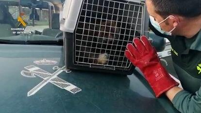 Un agente observa al animal en la jaula tras rescatarlo del patio de una vivienda de San Sebastián de los Reyes.