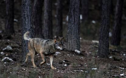 Un lobo ibérico en semilibertad, en el centro de lobo ibérico de Castilla y León.