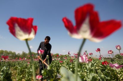 Un agricultor afgano trabajaba en un campo de amapolas, en Jalalabad, en abril de 2014.