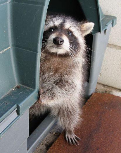Un mapache en el Centro de Recuperación de Animales Silvestres.