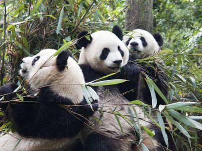 Aunque la dieta del panda se basa en un 99% en el bambú, su aparato digestivo sigue siendo el de un carnívoro.