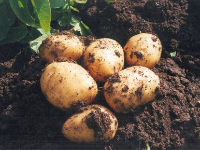 No basta con producir millones y millones de patatas: hace falta cambios en los sistemas alimentarios y combatir la malnutrición y el hambre.