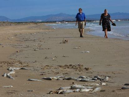Aparecen miles de peces muertos junto a la desembocadura del río Segura en la playa de los Tosales de Guardamar.