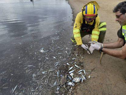 Dos agentes medioambientales, este sábado en la playa de Villananitos (San Pedro del Pinatar), con los peces que aparecieron muertos. En vídeo, las imágenes de los peces en la orilla.