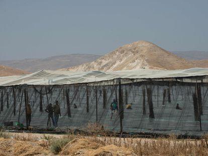 Trabajadores palestinos, en una plantación de colonos israelíes en el valle del Jordán.
