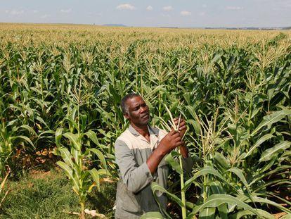 El granjero Koos Mthimkhulu inspecciona el maiz en los campos de Senekal, Sudáfrica.