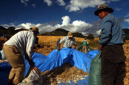 Campesinos recolectan judías en Bolivia.