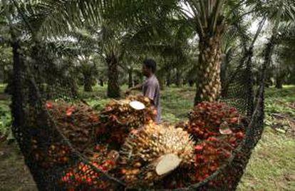 Un trabajador recorre un cultivo de palma de aceite que produce los frutos para procesarlos en una planta extractora de aceite en María La Baja (Colombia). EFE/Archivo