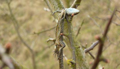 Una lagartija emplada por un alcaudón en su despensa.
