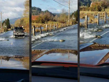 Un grupo de salmones cruza una carretera en Shelton, Washington, este lunes.