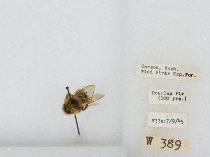 Un ejemplar de bombus, que incluye las especies conocidas como abejorro.