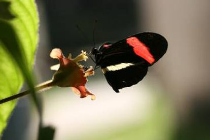 El género de mariposas americanas 'Heliconius' usa el mismo gen de la polilla pero para destacar el color de sus alas.