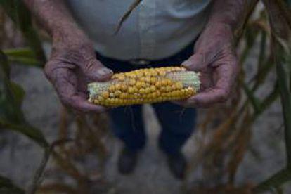 Un campesino mostrando el mes pasado una mazorca afectada por la sequía, a las afueras de Eldorado, en Illinois (EE.UU.).