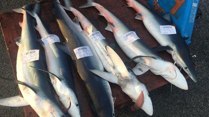Unos tiburones azules, en una lonja de Cataluña. Esta actividad es legal, pero se trata de una especie en extinción que no está protegida.