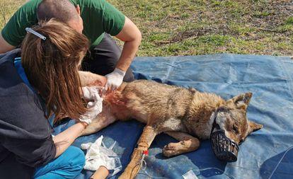 El equipo de Arcturos curando a la loba este miércoles.