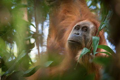 La especie de orangután nueva llamada Tapanuli.