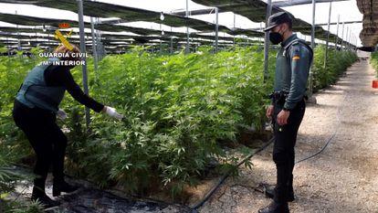 La Guardia Civil detiene por un delito contra la salud pública a los dos responsables de cinco cultivos de cáñamo de El Ejido (Almería) en los que han sido intervenidas 64.800 plantas de cannabis.