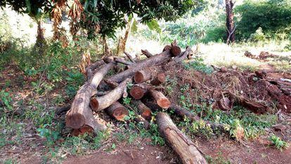 Unos árboles de teca cortados por empresas madereras esperan a ser recogidos y trasladados a la ciudad más cercana en el estado de Torit, Sudán del Sur, el 1 de enero de 2019.