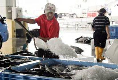 Un trabajor cubre de hielo los pescados en el mercado de Kesennuma, al norte de Japón, como un primer paso para recuperar la industria de la pesca, donde la costa pacífica resultó devastada por el tsunami y posterior terremoto. EFE/Archivo