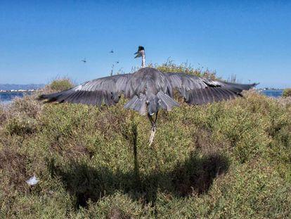 Una garza real ('Ardea Cinerea') alza el vuelo en el delta del Ebro.