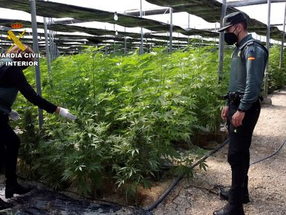 Dos agentes de la Guardia Civil en uno de los cinco invernaderos de El Ejido (Almería) en los que han sido intervenidas 64.800 plantas de cannabis.