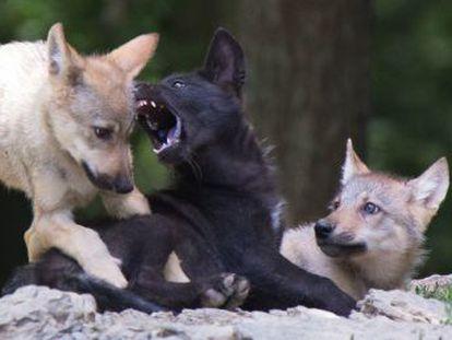 Un experimento con lobeznos que entienden indicaciones sugiere que esa capacidad pudo propiciar la domesticación de los perros