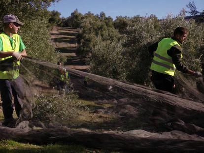 Carlos Jesús López, de 23 años, y Francisco Javier Maeso, de 20, recogen la aceituna en Sabiote, Jaén.