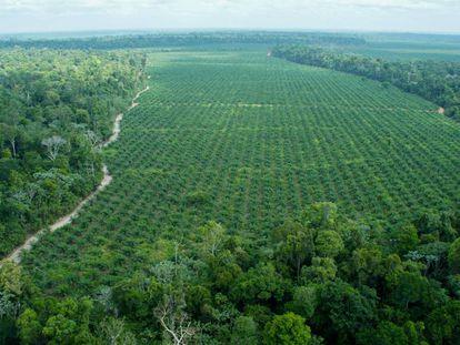 Imagen aérea de la finca de Agropalma, donde se han preservado 64.000 hectáreas de bosque nativo, entre ellos árboles de hasta 50 metros, muy superiores a las palmas, como se aprecia en la imagen.