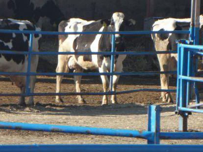 Una granja de vacas de leche en Quintanilla del Agua, Burgos.