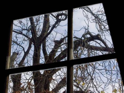 El castaño que veía Ana Frank desde su escondite, en 2007.