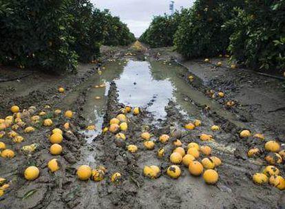 Un naranjal de Cantillana, con la fruta por el suelo.