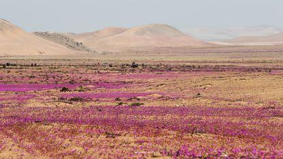El fenómeno natural conocido como el Desierto Florido que ocurre entre cada 5 y 10 años aproximadamente,en el desierto de Atacama, Caldera (Chile).