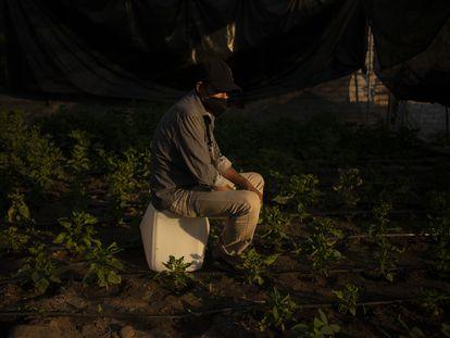 Pedro Flores, de 53 años, en la huerta que cuida, en Apatzingán.