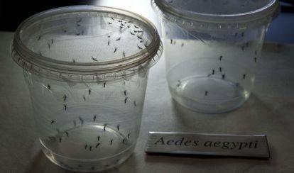 Mosquitos Aedes aegypti, transmisores del virus zika, en el Instituto de Ciencias Biomédicas de la Universidad de Sao Paulo el pasado 8 de enero.