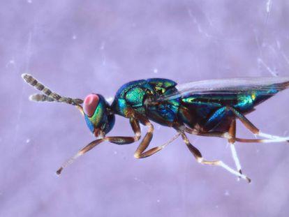 La avispa asesina 'Enderus set' que mide poco más de un milímetro.