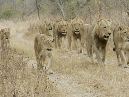 Una manada de leones del Parque Nacional Kruger (Sudáfrica), en una imagen de archivo.