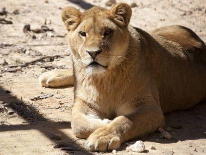 La leona 'Nala', en el recinto que la ONG AAP Primadomus gestiona en Alicante.