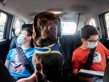 Brownie, el perro de asistencia, se sienta en la parte trasera del coche, entre los dos hermanos, para no perder de vista a Adrián.