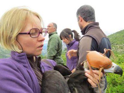 Un proyecto reintroduce al buitre negro en los Pirineos, de donde desapareció tiroteado y envenenado