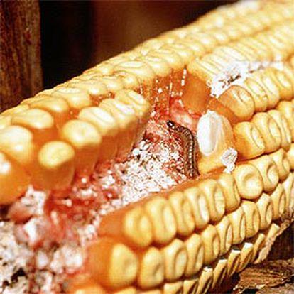 Mazorca de maíz afectada por la plaga del <i>taladro</i>.