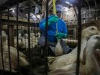 FILE - In this July 18, 2019, file photo, Moulard ducks, a hybrid white farm Peking duck and a South American Muscovy duck, are caged and force-fed at Hudson Valley Foie Gras duck farm in Ferndale, N.Y., to fatten their livers to produce foie gras. The sale of foie gras in New York City is about to be a faux pas. City council members on Wednesday, Oct. 30, are expected to pass a bill that bans the sale of fattened liver of a duck at restaurants, grocery stores or shops. (AP Photo/Bebeto Matthews, File)
