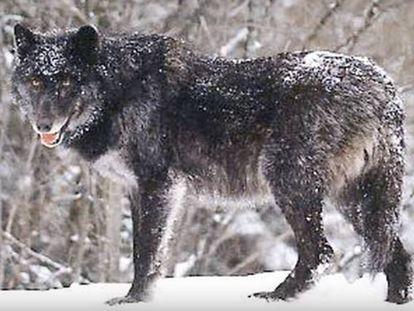 Un lobo del Mackenzie, de la Columbia Británica.