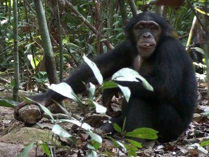 Una investigación descubre las diferentes reacciones de chimpancés, bonobos y gorilas salvajes al descubrir cámaras trampa en el medio natural. En vídeo, imágenes del experimento.